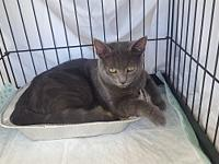 Spry's story Spry: 6 month old ash gray kitten. He is