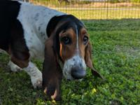 Ears, ears, ears!  This is Spud, a 4 year old basset