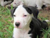Doc is a 9 week old American Bulldog mix pup. He weighs