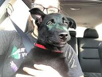 Spunky's story Meet Spunky! He is a male Lab/Husky mix
