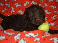 Zeus is a 7 week old brown labradoodle. Raised in the