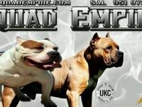 SHOW QUALITY AMERICAN BULLY - PITBULL BREEDER SINCE