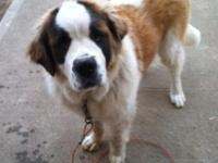 Pandora is a women 18 month aged St, Bernard looking