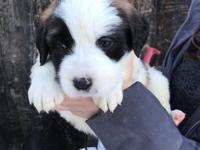 Adorable St.Bernard Puppies! Ready for new loving