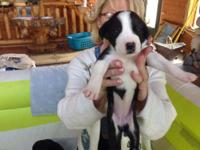 Have six male and female St. Dane puppies remaining