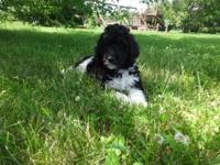 AKC registered Standard Poodle male puppy is a