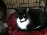 Domestic Short Hair, male, approximately 5 years old,