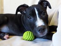 Staffordshire Bull Terrier - #1 Preston - Small - Young