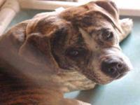Staffordshire Bull Terrier - A3271820 - Medium - Adult