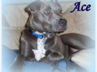 Staffordshire Bull Terrier - Ace - Large - Young - Male