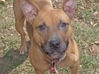 Staffordshire Bull Terrier - Allie - Medium - Adult -