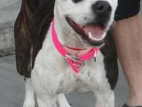 Staffordshire Bull Terrier - Foster - Medium - Young -