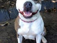 Staffordshire Bull Terrier - *maya* - Small - Young -