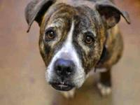 Staffordshire Bull Terrier - Missy - Medium - Adult -