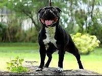 Beautiful puppies Staffordshire Bull Terrier for sale,
