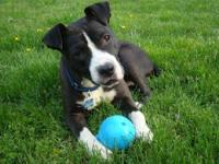 Staffordshire Bull Terrier - Sampson - Medium - Young -