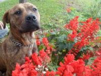 Staffordshire Bull Terrier - Taz - Medium - Adult -
