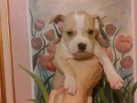 BEAUTIFUL STAFFORDSHIRE BULL TERRIES.   THE