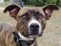 Staffordshire Bull Terrier - A598054 - Medium - Adult -