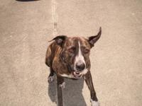 Staffordshire Bull Terrier - Rocket - Large - Senior -