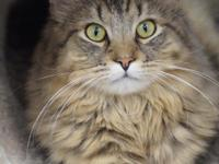 Stallone is a one-year old, medium-haired brown tabby.