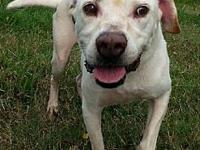 Stan - N's story Stan is a mixed yellow lab cross in