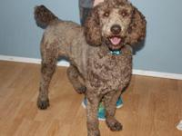 I have a 2 1/2 year old male standard poodle. He is ACA