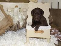 We have a litter of standard F1 chocolate Labradoodles.