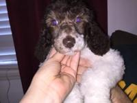 We had a litter of Standard poodle puppies born