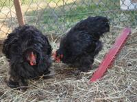 I have two black standard roosters for sale. One is a