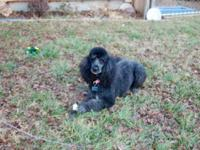 Beautiful Adult standard poodle 8 years young! She is