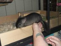 Sweet baby chinchilla. Standard gray, loves to get
