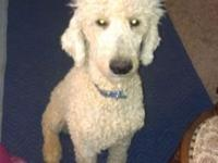Cream colored intact male poodle. 7 months old. Pure