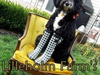 Lilleholm Farms Labradoodles, home of the Tuxedo
