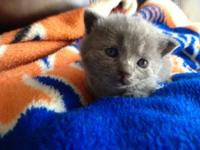 I have a 7 week old British Shorthair, short-leg, baby