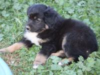 NSDR Registered Australian Shepherds Two black Tri