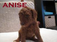 "Meet ""Anise"" A beautiful deep Dark Red little girl with"