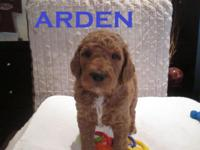 "Meet ""Arden"" A beautiful deep Dark Apricot boy who is"