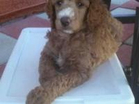 "This is ""Mateo"" He is a Red & White Parti-Poodle with"