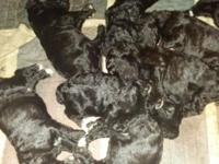 8 little furry babies, born sept. 9th and will be ready