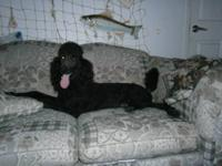 This Big Black Standard Poodle Boy is looking for his