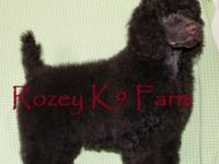 Rod is a fabulous brown standard poodle boy. He is