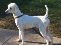 I have 2 AKC adult standard poodle girls. They are both