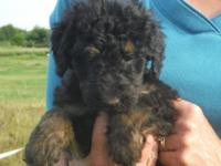 We have a new litter of Airedoodle puppies that was