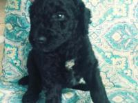 Super cute, smart  puppies ready to go now-1 black