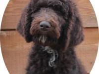 Lovely dark chocolate male typical poodle. He is quite