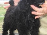 standard poodle male born march 11 2012. Ready for