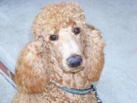 AKC,UKC,CKC registered. 1yr old female standard poodle.