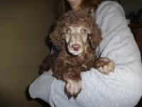 AKC registered FEMALE brown puppy is a little bundle of
