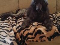 Beautiful AKC.REG. FEMALE STANDARD POODLE. BLUE